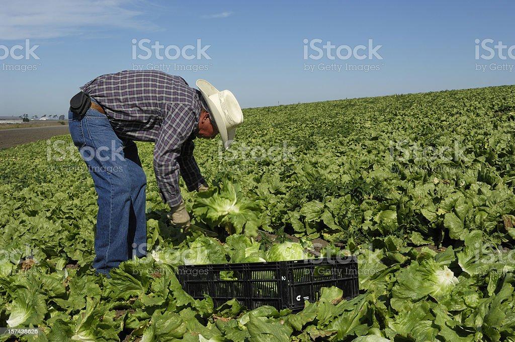 Usando un perfil en'u'hombre Latino en el campo Trabajo de lechuga - foto de stock