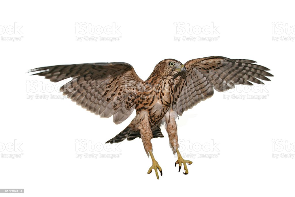 One hawk that is caught mid flight with a white background stock photo