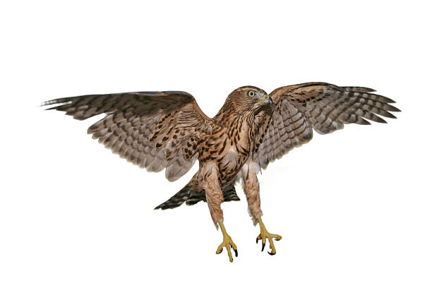 one hawk that is caught mid flight with a white background - falcon bird stock photos and pictures
