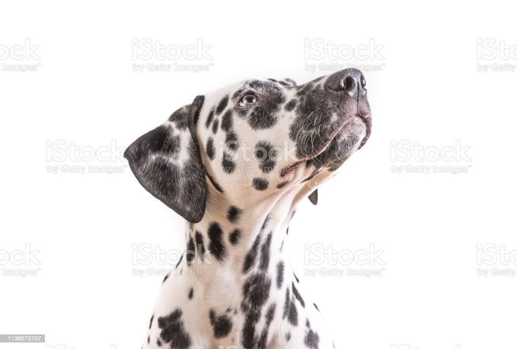 One Headshot of young dotted Dalmatian puppy stock photo