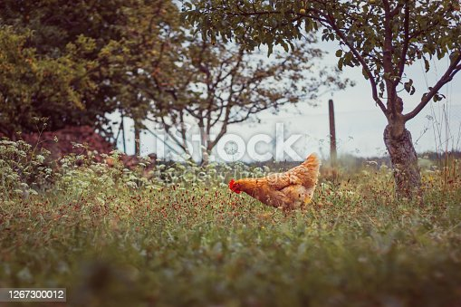 One hen in the garden, grass in the foreground, trees, fence and sky in the background