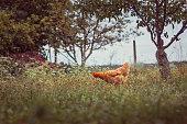 istock One hen in the garden 1267300012