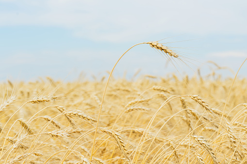 One high tall ripe full-grain cereal close-up on a hot summer afternoon against a yellow rye field, wheat and blue sky