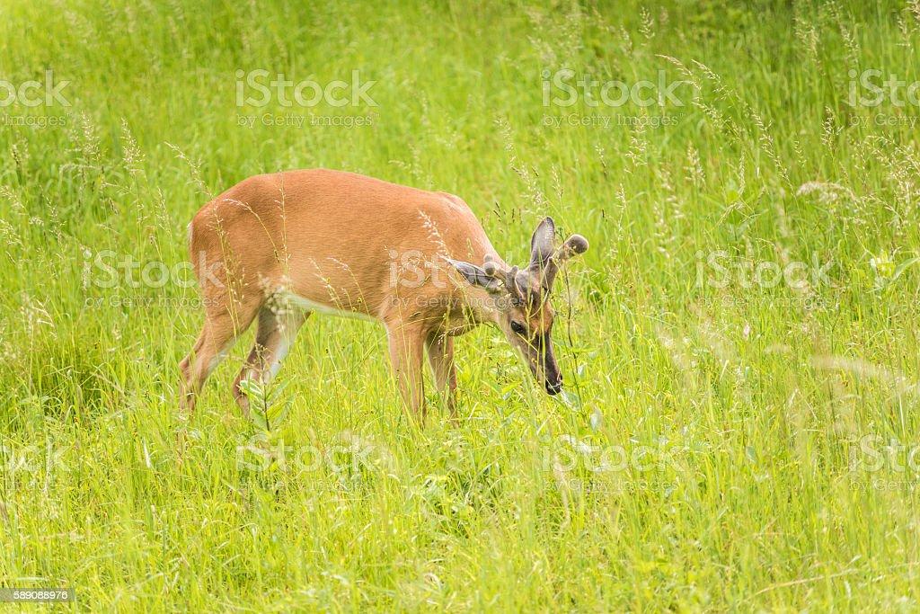 One horned deer grazing in sunny meadow stock photo