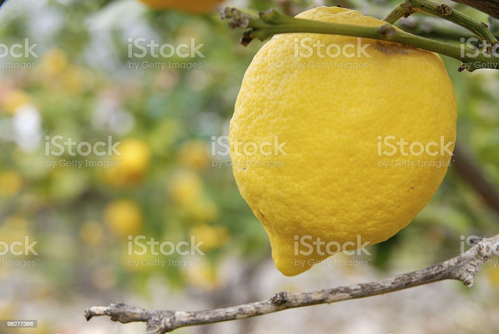 one huge lemon apart from others royalty-free stock photo
