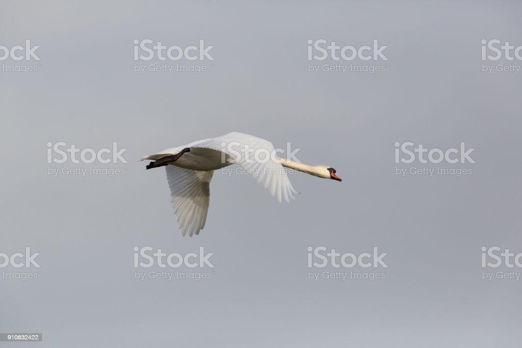 eine isolierte Vogel Höckerschwan (Cygnus Olor) während des Fluges mit Verbreitung Flügel – Foto