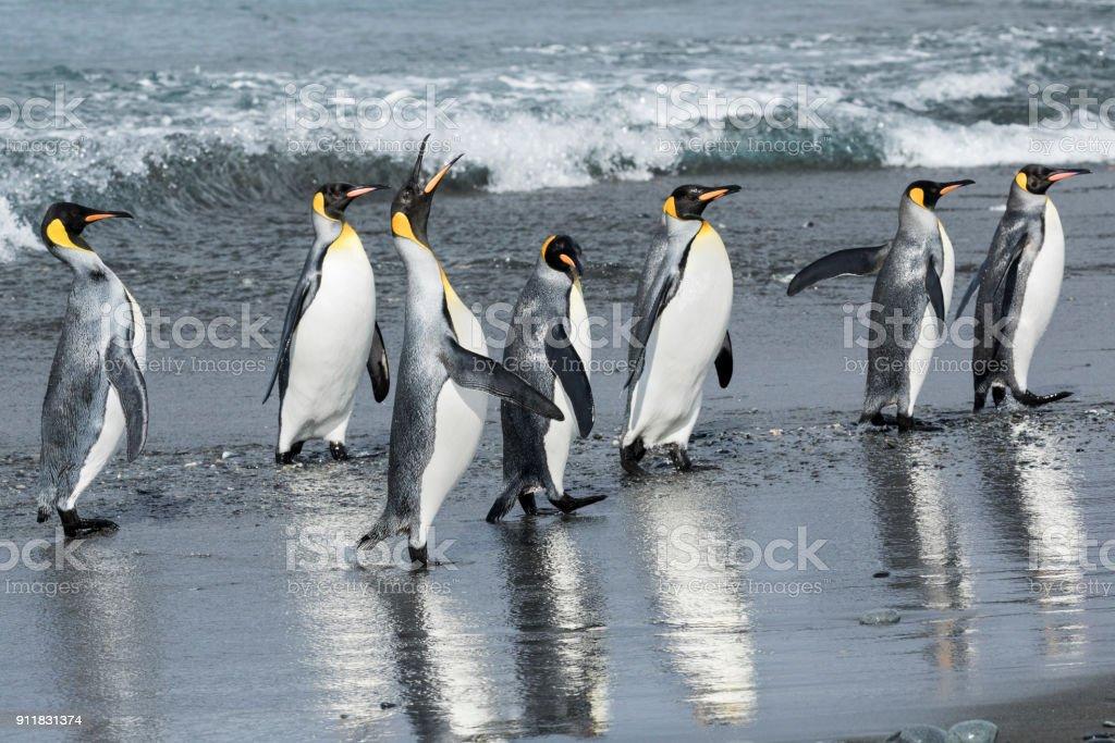 One king penguin trumpets as a group comes ashore at Salisbury Plain, South Georgia Island stock photo