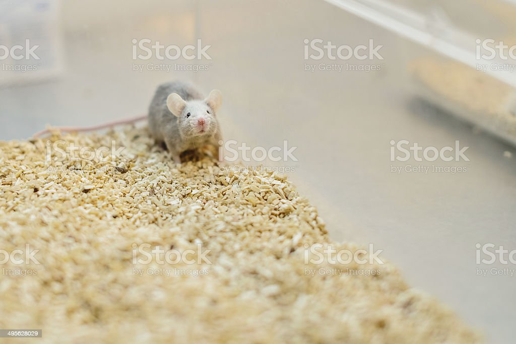 One lab mouse alone in his cage stock photo