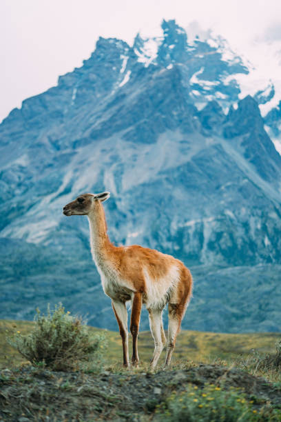One lama in Patagonia torres del paine blue background stock photo