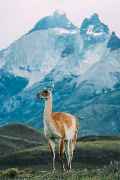 One lama standing on a snowy mountain background stock photo