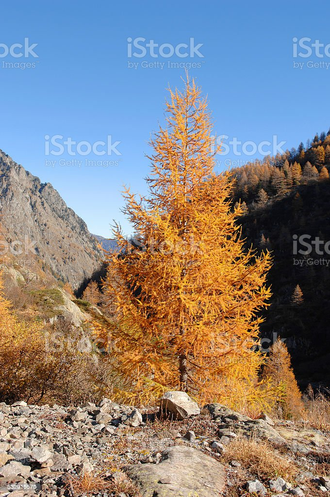 One larch in fire stock photo
