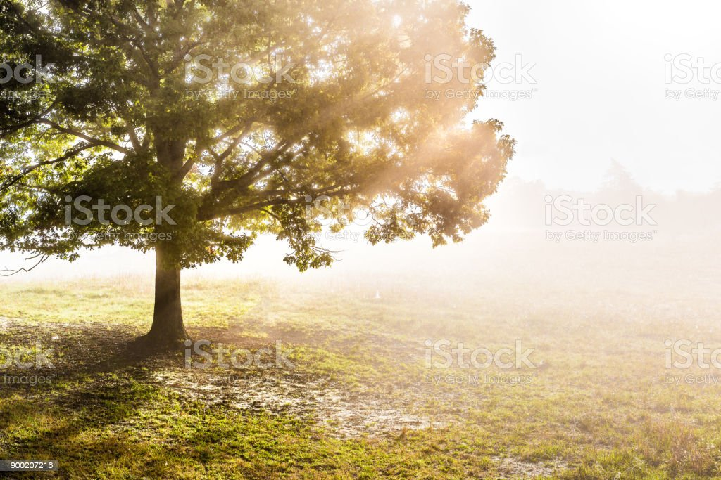 One large green tree in autumn with orange leaves in mist, fog, and sun rays breaking, shining through foggy silhouette in morning countryside concept stock photo