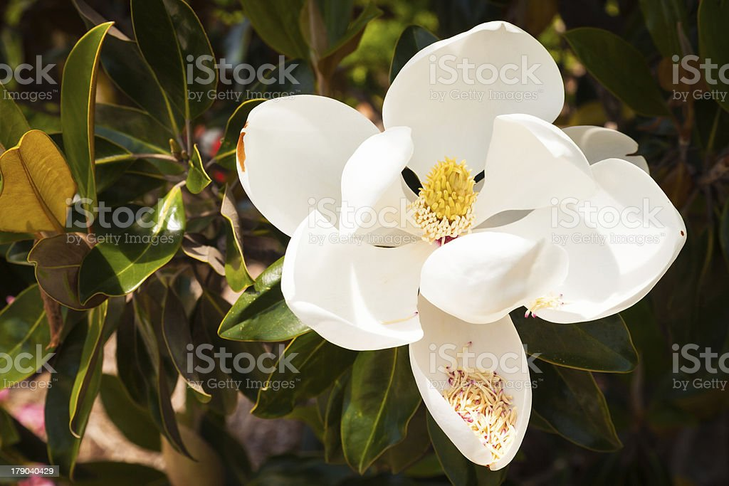 One Large White Magnolia Bloom with Pollen royalty-free stock photo