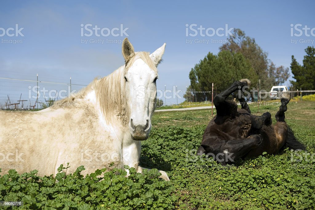 One Laying Another Rolling royalty-free stock photo
