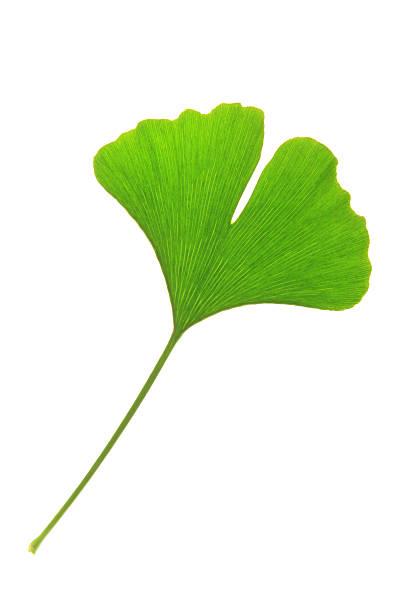 Ein Blatt von Ginkgo tree – Foto