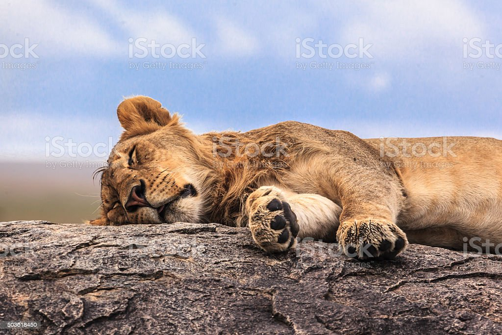 One lioness sleeping on the rock stock photo