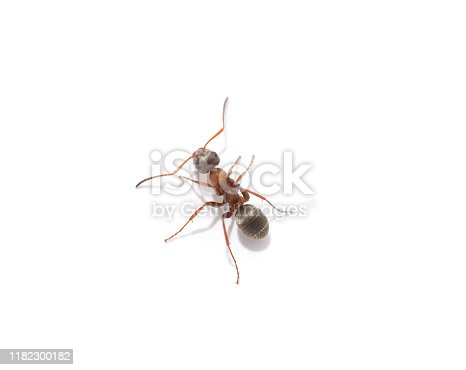 One little ant isolated on a white background.