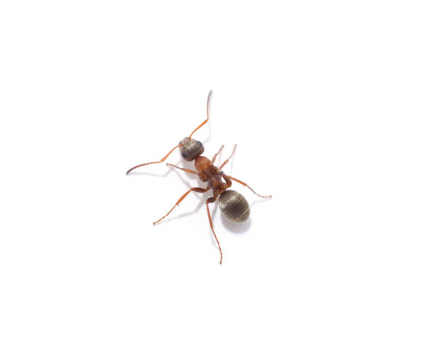 One little ant. One little ant isolated on a white background. ant stock pictures, royalty-free photos & images