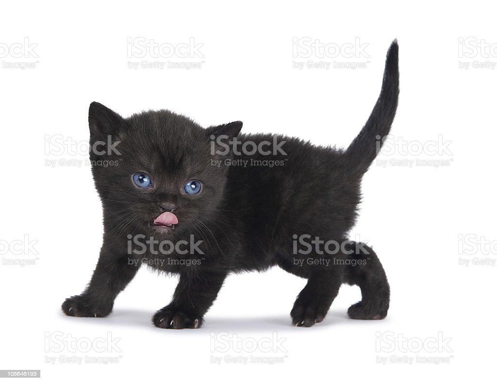 One little british kitten royalty-free stock photo