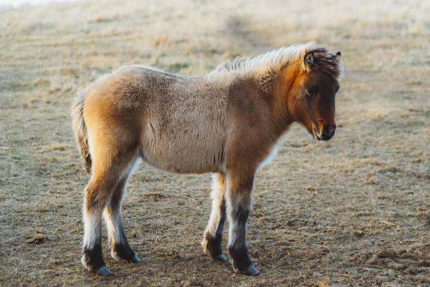 One little Iceland horse stock photo
