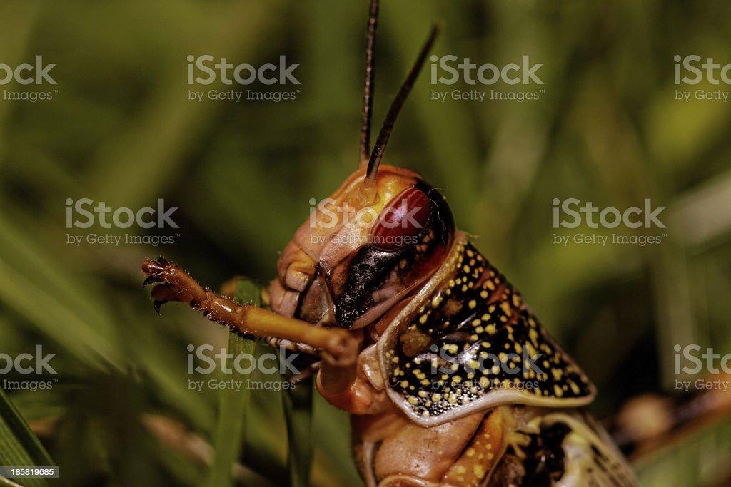 one locust eating stock photo