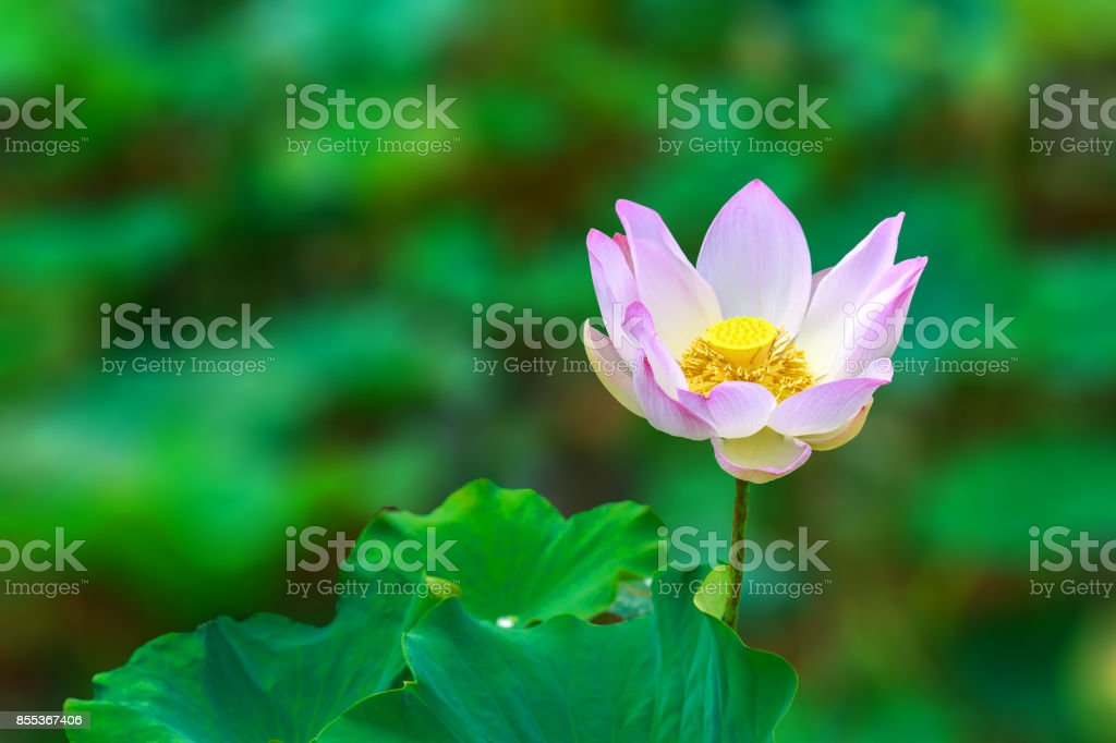 One Lotus Flower Charmingly Bloom with Green Background stock photo