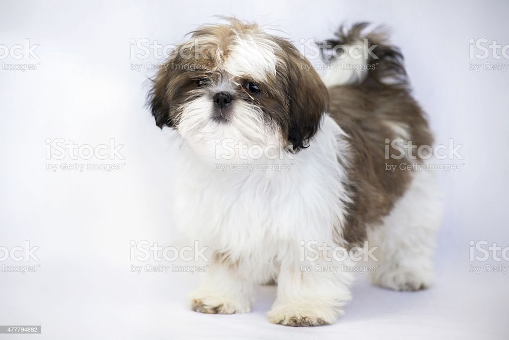 One Lovely Colored Shih Tzu Puppy Standing Isolated Stock Photo Download Image Now Istock