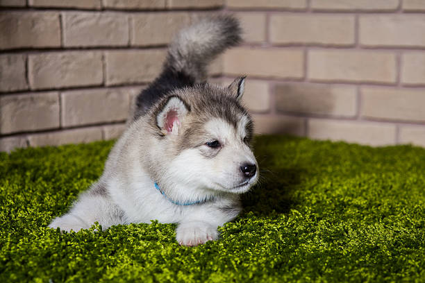 One malamute little puppy with wagged tail sniffing the air stock photo