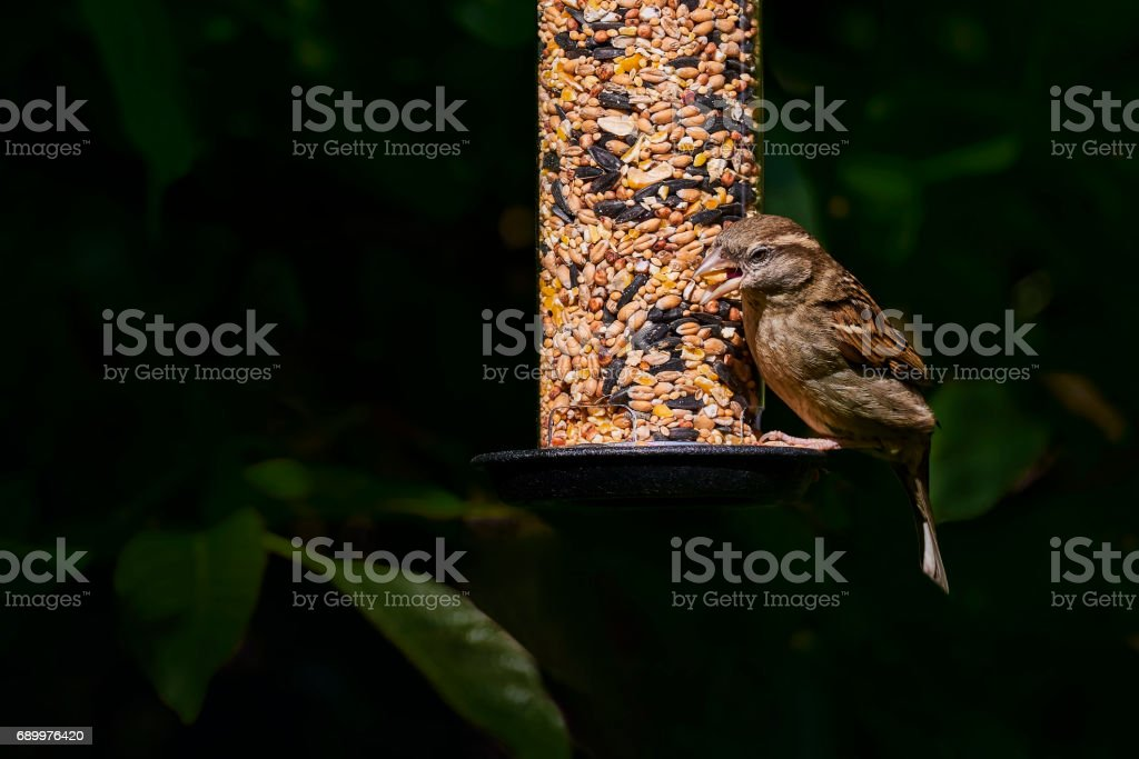 One male house sparrow (passer domesticus) on a garden feeder with a seed in its beak – Foto