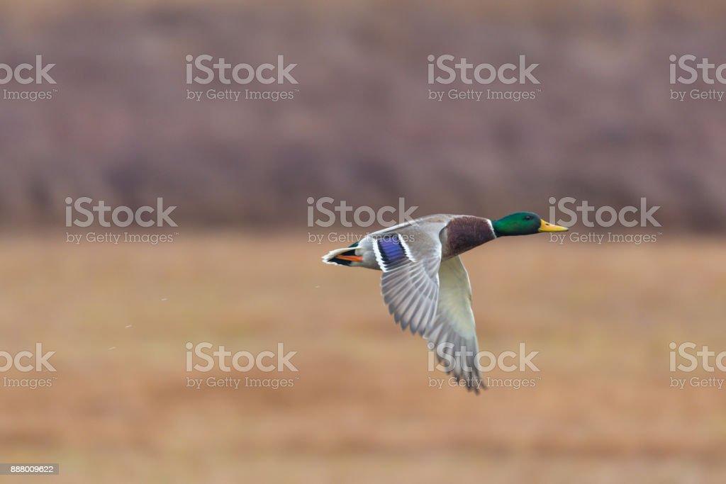 eine männliche Stockente Ente Vogel (Anas Platyrhynchos) mit reed – Foto