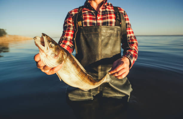 One man - a fisherman standing in the water holding in his hand caught on spinning pike stock photo