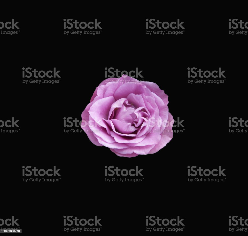 One Mauve colored rose on a black background stock photo