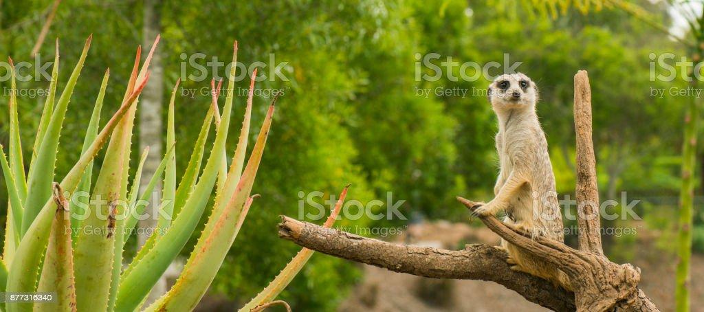 One meerkat looking around. stock photo