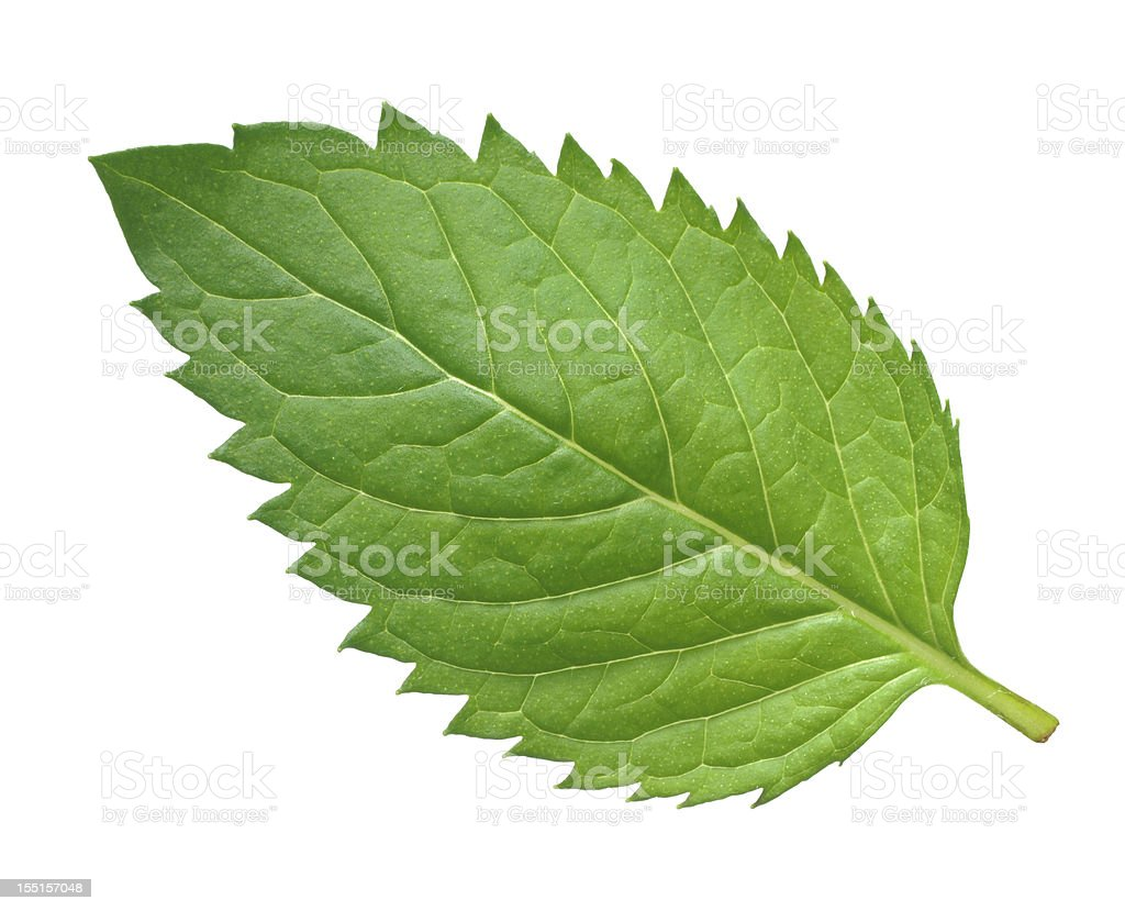 One mint leaf on a white background royalty-free stock photo
