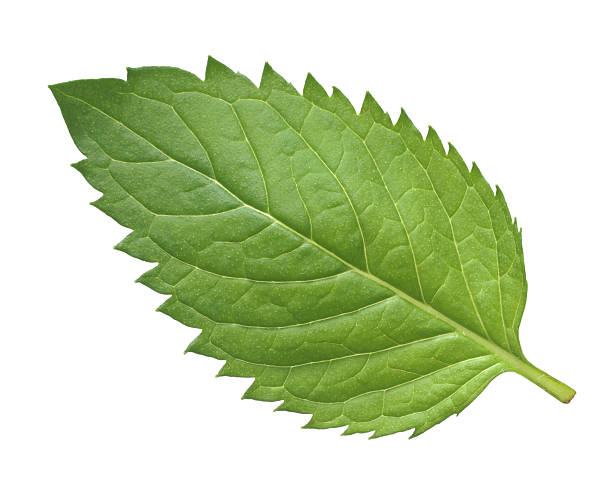 One mint leaf on a white background stock photo