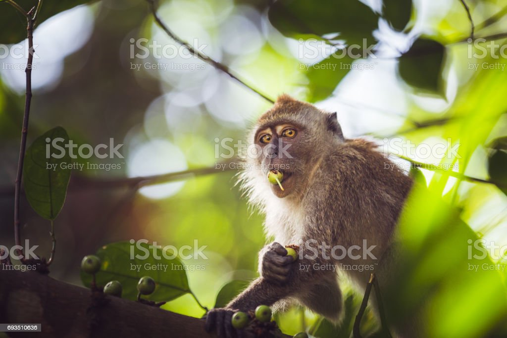 One monkey eating fruits and looking at the camera stock photo