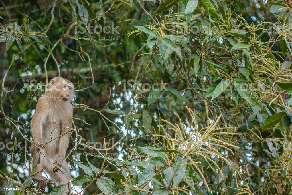 One Monkey on a Tree - Royalty-free Animal Stock Photo