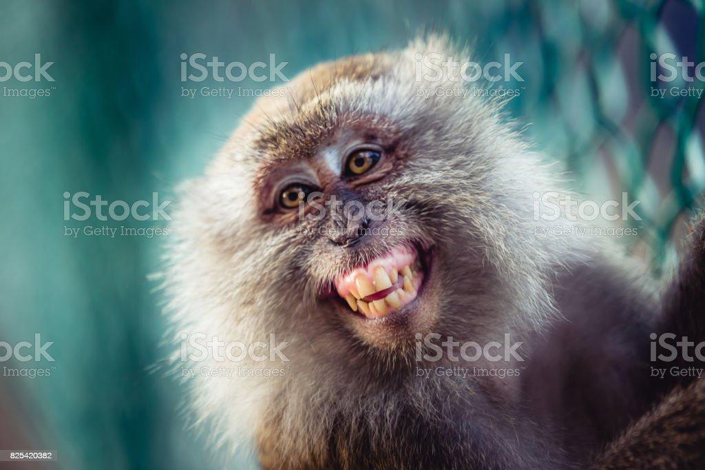 One monkey smiling stock photo