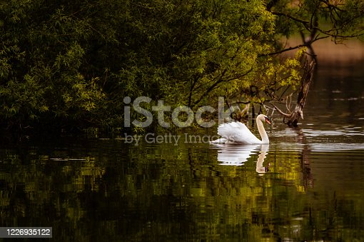 A mute swan swimming on a Scottish loch in the early morning. The loch is in rural Dumfries and Galloway, south west Scotland. At the time of taken the photograph the swan is swimming past a small island.