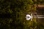 A mute swan swimming on a Scottish loch in the early morning.\nThe loch is in rural Dumfries and Galloway, south west Scotland.\nAt the time of taken the photograph the swan is swimming past a small island.