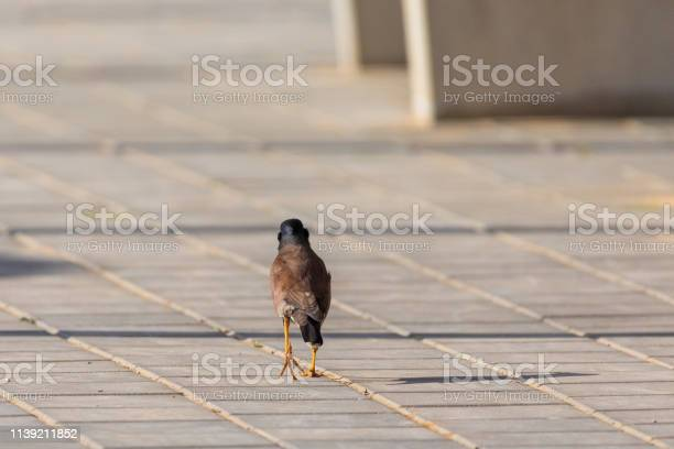One mynah going out at the sidewalk