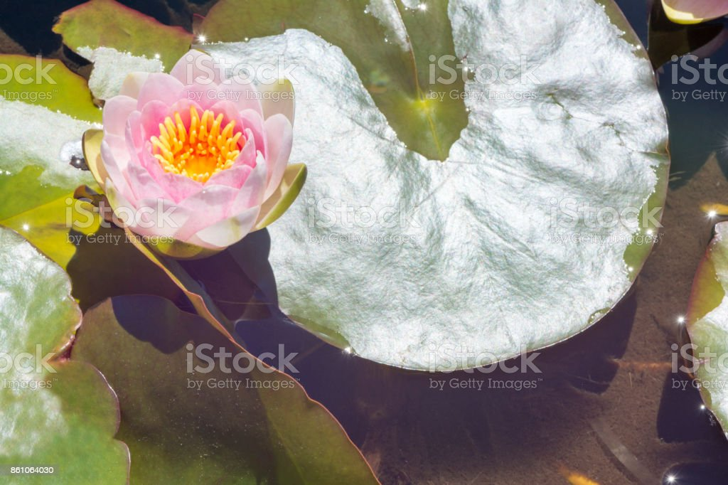 One Nymphaea 'Mrs Richmond' Waterlily with Lily Pads stock photo