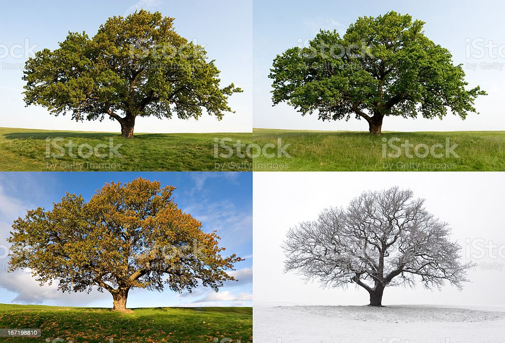One Oak - Four Seasons stock photo