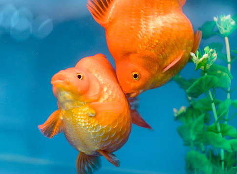 One Of Most Popular Pet Ornamental Fish Is Goldfish Or ...
