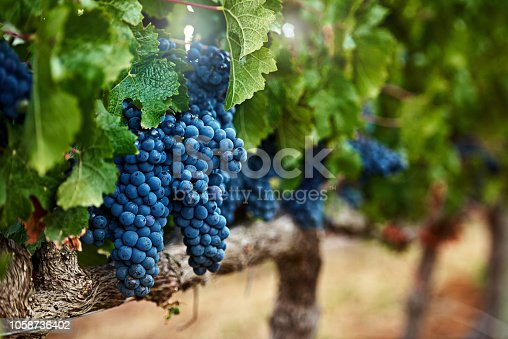 Still life shot of a bunch of grapes growing on a vineyard