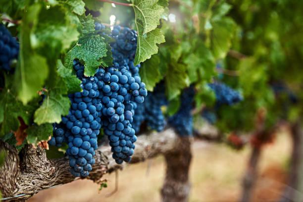 en av naturens läckra presenter - vineyard bildbanksfoton och bilder