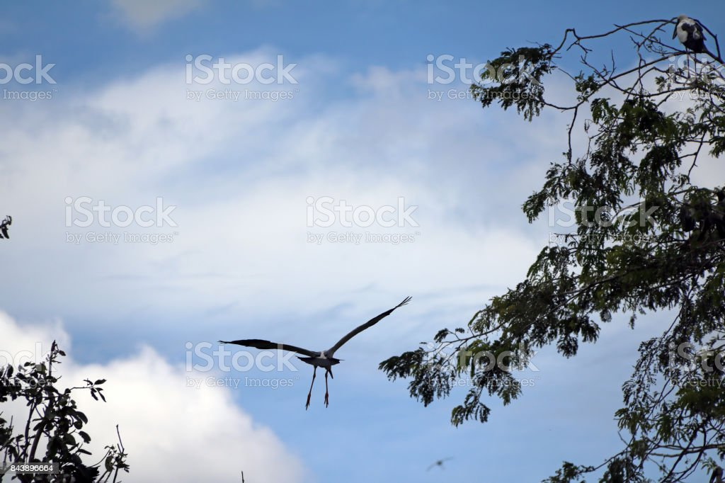 One of open billed stork bird flying on the air with blue sky and white cloud background. stock photo
