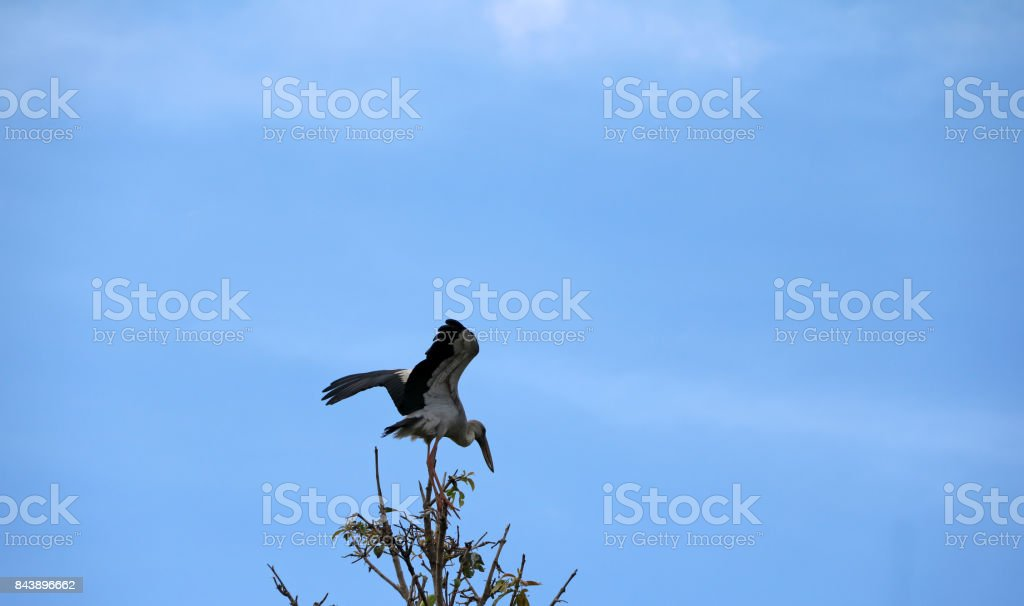 One of open billed stork bird perch and winged at the top of the tree on blue sky and white cloud background. stock photo