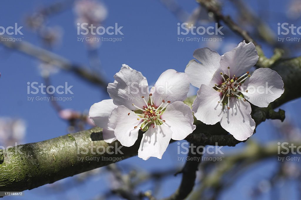 Pink spring blossom growing on the branch royalty-free stock photo