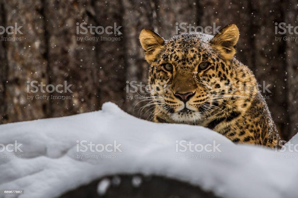 Eines der wenigen Amur-Leopard – Foto
